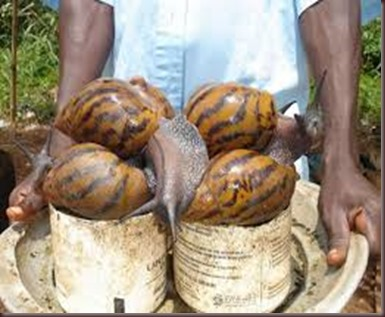 Amazing Pictures of Animals East African land snai,Achatina fulica,Mollusca. Alex (5)