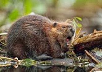 Amazing Pictures of Animals, Photo, Nature, Incredibel, Funny, Zoo, Beaver, Castor, Mammals,  Rodentia, Alex (5)