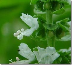 Floral de Minas Basilicum Mangericao
