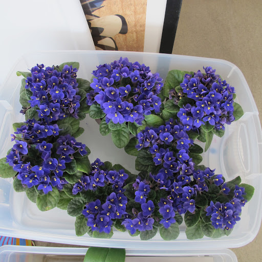 To water the violets, Chavo places them in a plastic bin for several hours.
