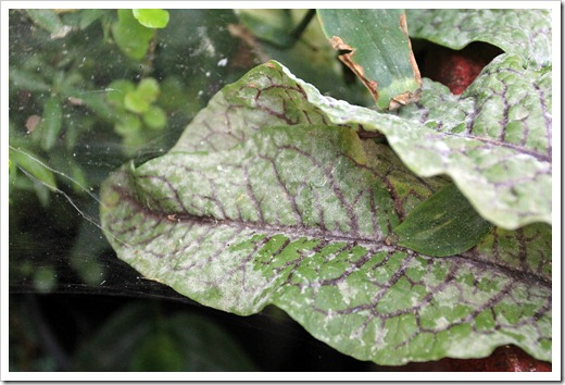 120714_Rumex-sanguineus-with-powdery-mildew_02