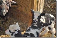 Rosemary's ewe lambs 2012