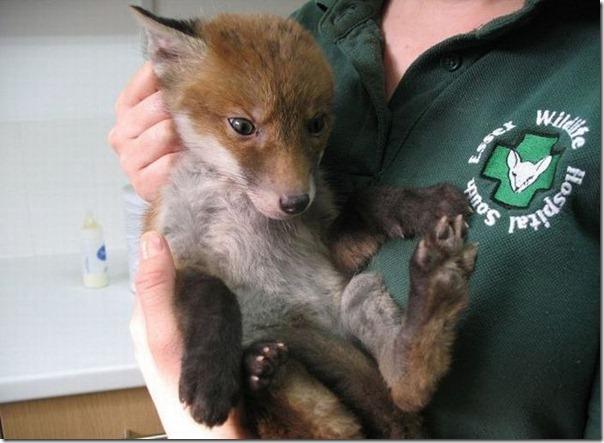 Filhote de raposa atolado na lama (3)