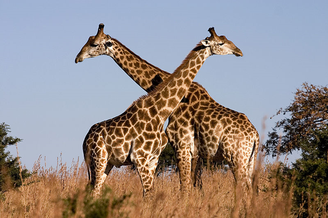Fighting giraffes (Giraffa camelopardalis) in Ithala Game Reserve, Northern KwaZulu Natal, South Africa. Photo: Luca Galuzzi / Wikimedia Commons