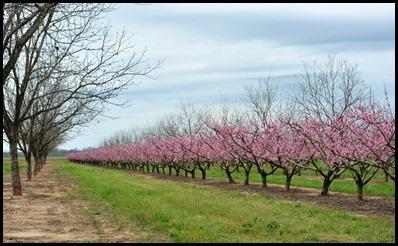 peach tree1