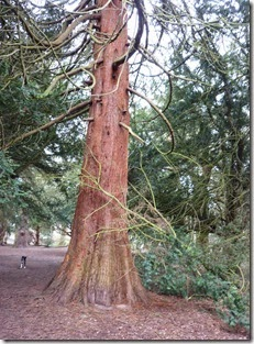 10 redwood