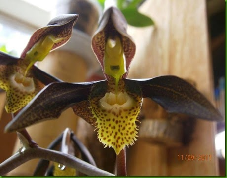 OR Catasetum saccatum