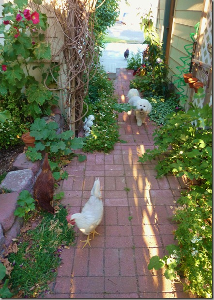 chicks 087