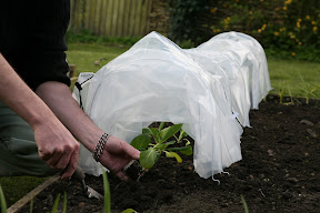 Easy Poly Tunnel - planting out