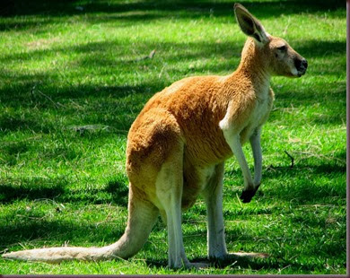 Amazing Animal Pictures Kangaroo (13)