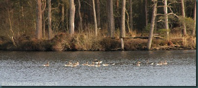 29-geese-loch-heron
