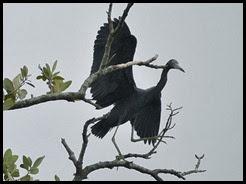 00e - Animals - Little Blue Egret
