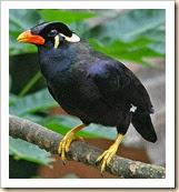 Mynah_Bird
