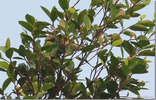 daurian starling on ficus benjamina
