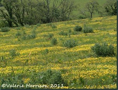 26-buttercup-field