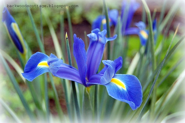 blue dutch iris
