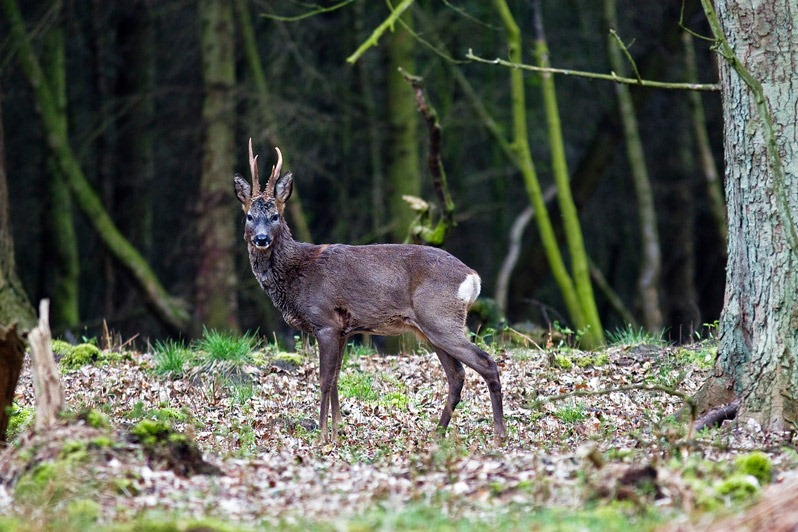 Roe Deer male