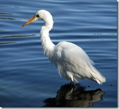 Great Egret best 10-16-2012 9-26-43 AM 2821x2588