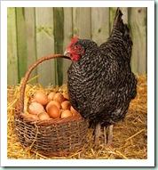 Chicken&Eggs