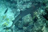 White Tipped Reef Shark - Noumea, New Caledonia
