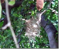 Bell's vireo nest 3 best 4-13-2013 9-39-44 AM 984x823