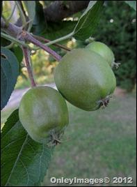 apples0512 (4)
