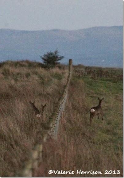 8-roe-deer