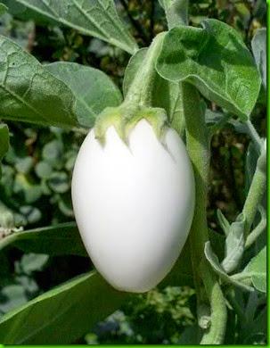 Solanum melongena v ovigerum