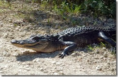 Alligator at edge of Loop Road