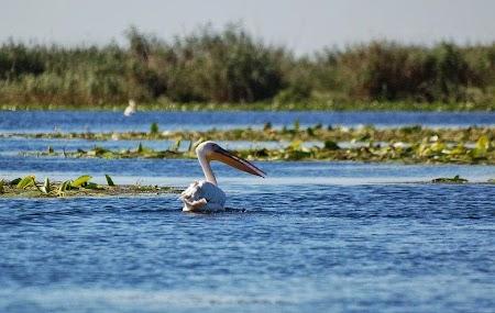 Pelican in Delta Dunarii.jpg