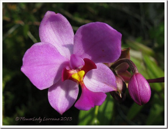 03-25-ground-orchid