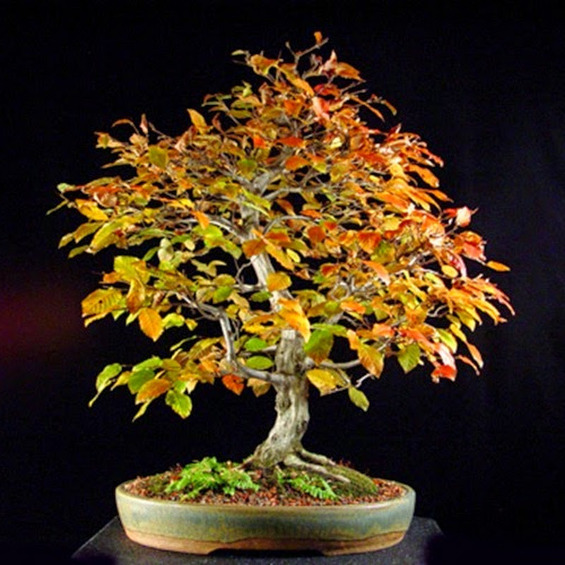 The Art of Bonsai Project: Gallery Hornbeams.
