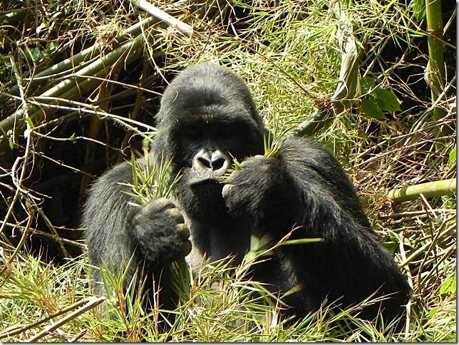 Rwanda_Gorillas (5)