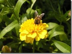 včely na květech 083
