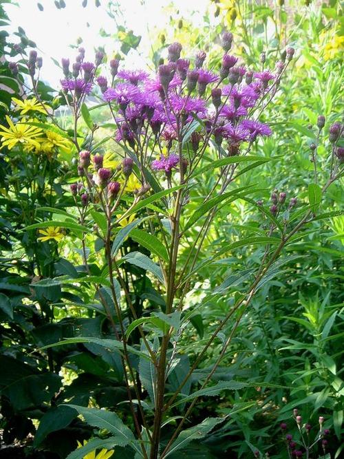 macro-Vernonia-crinita-Mammoth-1-16092006[1]
