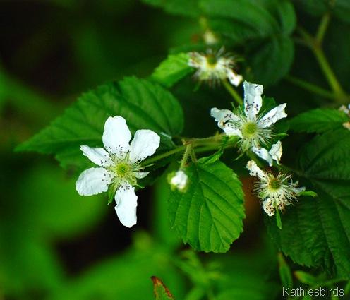 5. raspberry blossom-kab