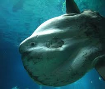 Amazing Pictures of Animals, photo, Nature, exotic, funny, incredibel, Zoo, ocean sunfish, Mola mola, or common mola, Alex (7)
