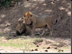 October 24, 2012 two male lions