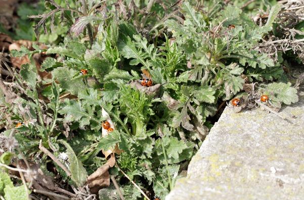 12_03_11_Longfield_054_ladybirds