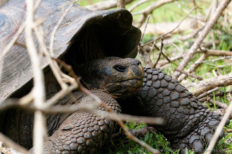 Riesenschildkröte, Galapagos
