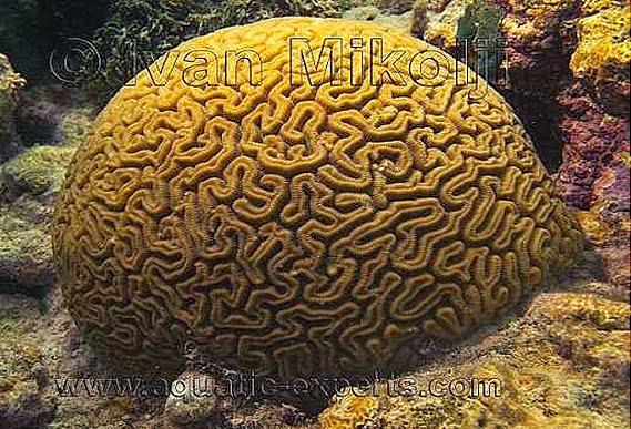 Brain-coral-Meandrina