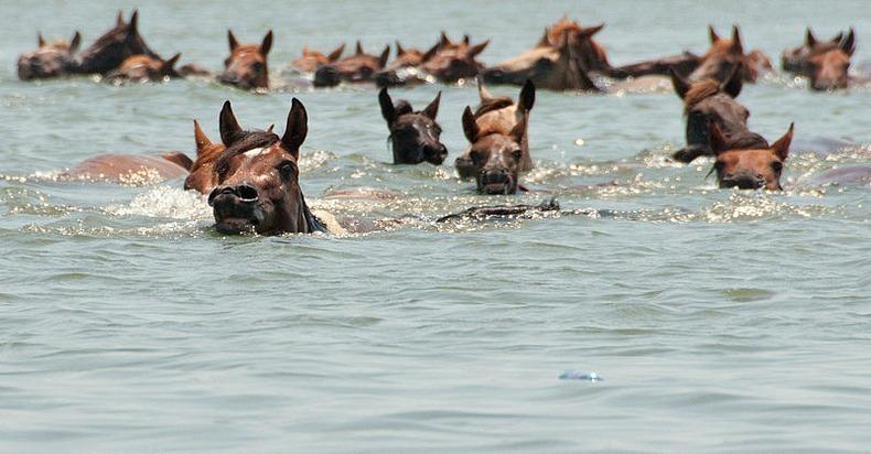 chincoteague-pony-swim-16
