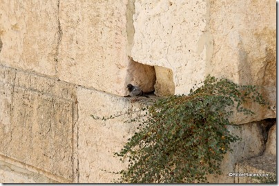 Bird perched on stone of Western Wall, tb090705995