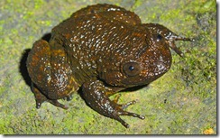 SPINULAR NIGHT FROG- Nyctibatrachus acanthodermis