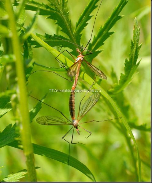 hyönteisiä, ötököitä, parittelua 094