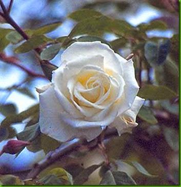 Rosa Mrs Herbert Stevens 1