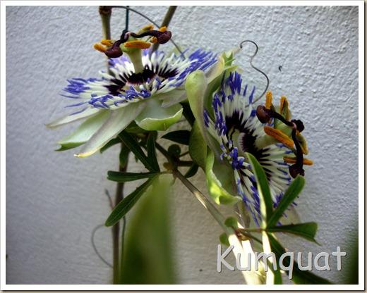 passiflora 6