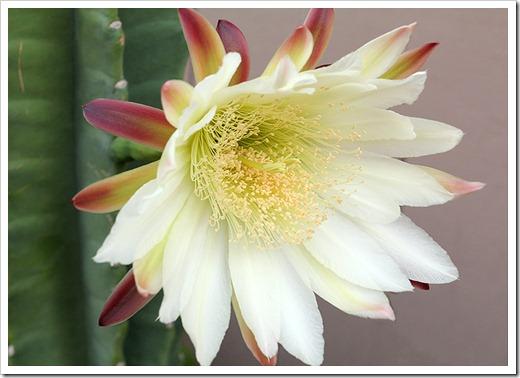 110816_Cereus-hildmannianus-subsp-hildmannianus-3-flowers_07