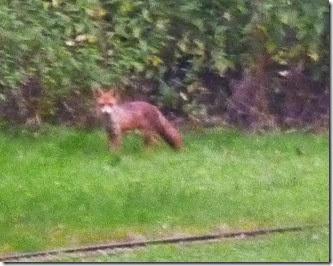 10 fox in cassiobury park