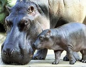Amazing Pictures of Animals, Photo, Nature, Incredibel, Funny, Zoo, Hippopotamus, Hippopotamus amphibius, Mammals, Artiodactyl, Alex (14)